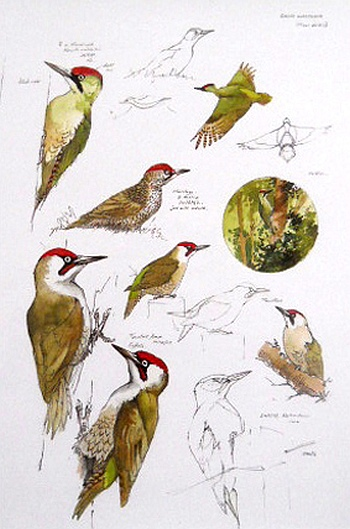 frank-jarvis-11-green-woodpecker